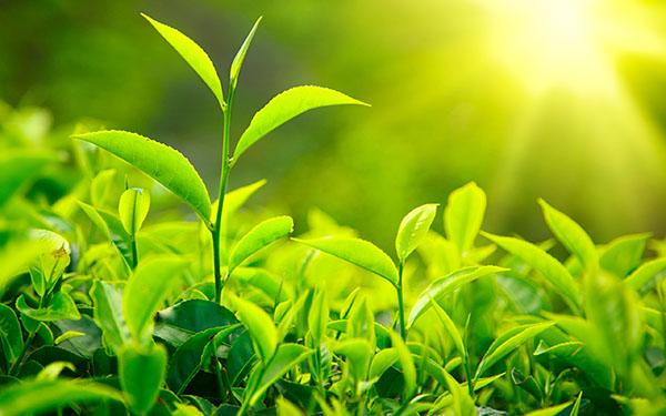 Tổng hợp những loại trà tốt cho sức khỏe dành cho người cao tuổi