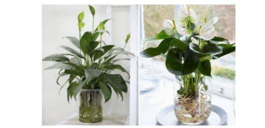 Điểm mặt những loại cây  giúp bạn lọc bụi trong nhà cực hiệu quả