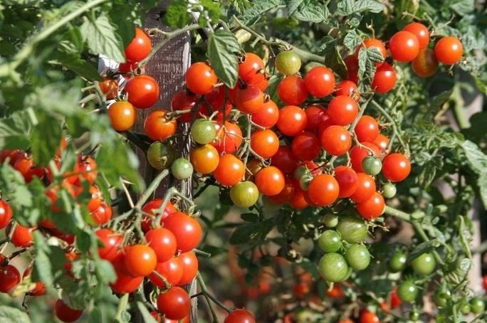 Những loại cà chua phổ biến hiện nay.